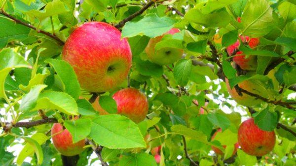 富山のりんごのアイキャッチ画像